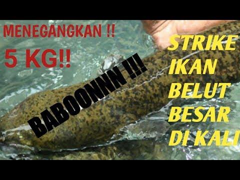 STRIKE BELUT BABON 5KG SEBESAR PAHA ORANG DEWASA , TARIKANNYA GURIIHHHH !!!