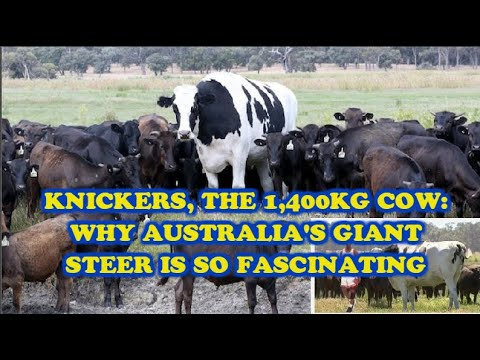 Knickers The 1 400kg Cow Why Australia S Giant Steer Is So