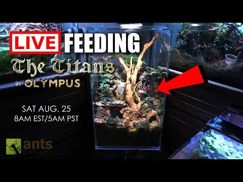 Live Feeding Of The New Titans (Asian Marauder Ants) In Olympus