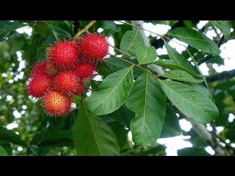 37 Manfaat Buah Rambutan dan Kandungan Gizinya