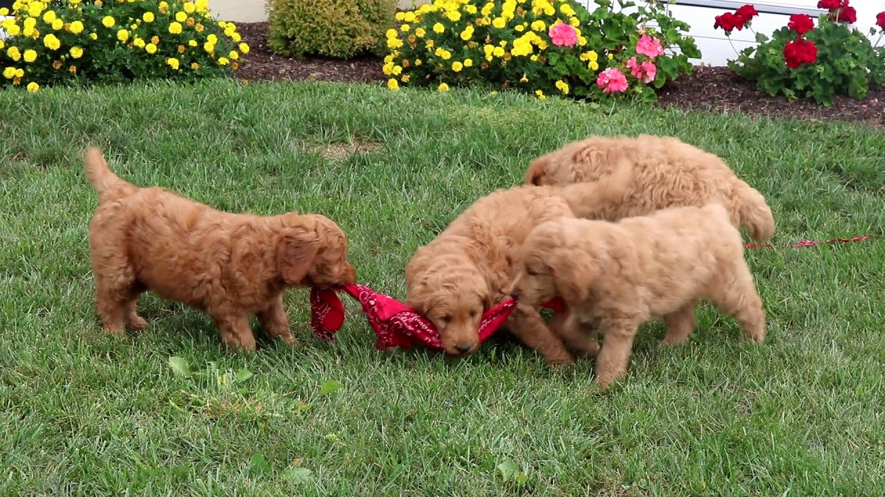 Care Bear | Goldendoodle Puppy For Sale | Keystone Puppies