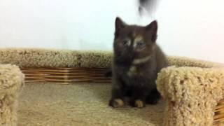 Шоколадная черепаховая британская кошка