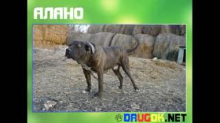 Алано(Алано, или испанский бульдог, довольно крупные породы собак. Упоминание о данной породе впервые можно встре..., 2017-01-09T10:00:02.000Z)