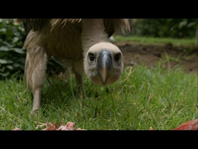 Feeding a Vulture – Vultures: Beauty in the Beast – Natural World – BBC Two