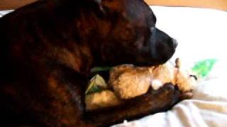 Staffordshire Bull Terrier, Tequila 'plays' With A Toy:)