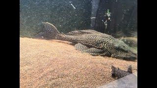 Отдам сомов, птеригоплихт парчовый, Ужас в аквариуме (((