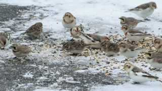 Horned Larks, Snow Buntings, and Lapland Longspurs in our yard!