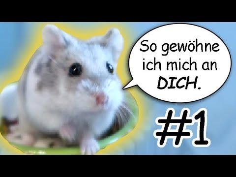 Hamster zhmen  Gewhnung an Geruch & Stimme  #Zhmungstagebuch01