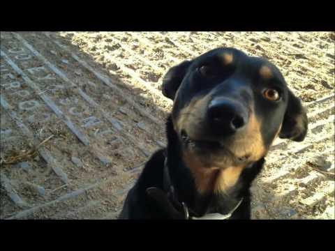 Wilson the Australian Kelpie. Cattle Dog