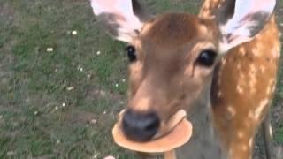 日本奈良之拿鹿餅餵鹿