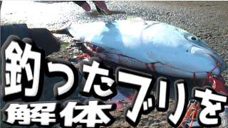 堤防で釣った92cmのブリを解体する! thumbnail