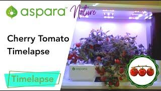 aspara™ nature cherry tomato timelapse