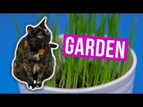 Cách trồng Cỏ Mèo Trong Nhà