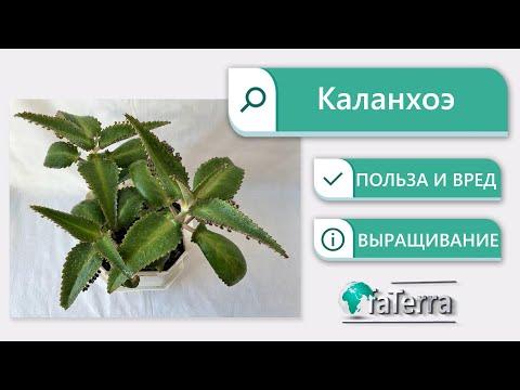 Каланхоэ – домашний доктор! Польза и вред растения