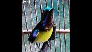 Perawatan Harian Kolibri Manggar Agar Cepat Gacor