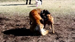 舎人公園ドッグランでの1コマ 珍しい犬種ばかり集まりました、中でもコ...