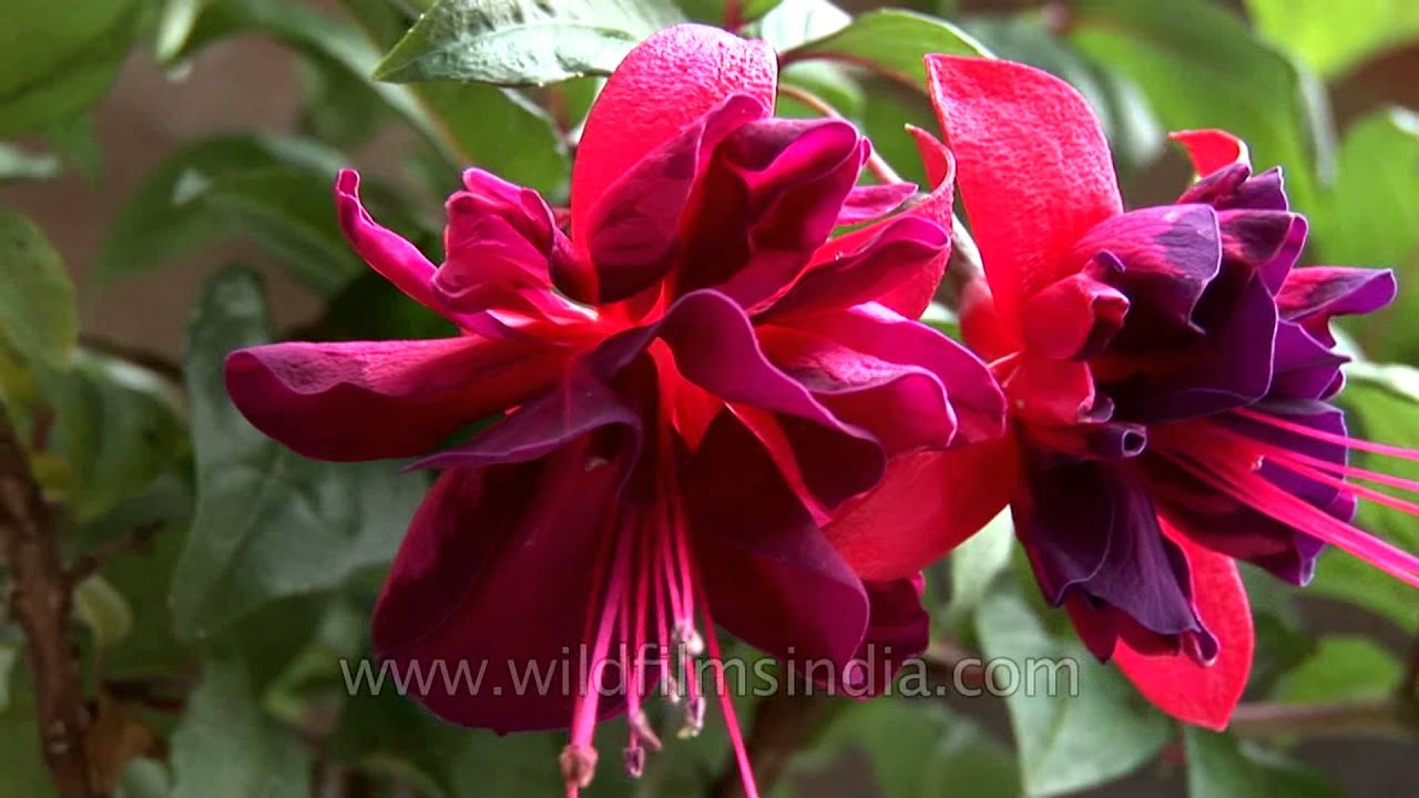 Fuchsia flower youtube fuchsia flower mightylinksfo