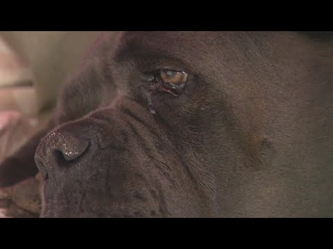 Download Dog shot twice by a LA County deputy during search warrant at neighbor's home