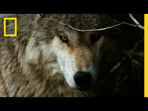 Jim & Jamie Dutcher: The Hidden Life of Wolves | Nat Geo Liv