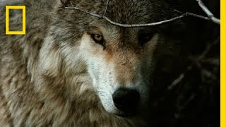 National Geographic Live! - Jim & Jamie Dutcher: The Hidden Life of Wolves