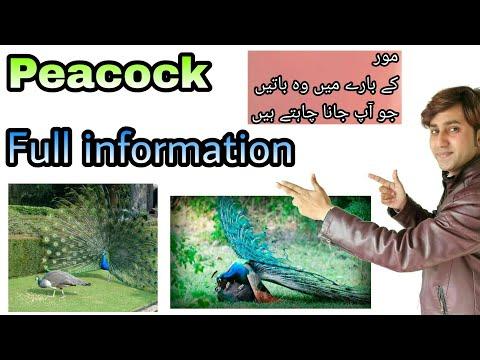 Peacock information MOOR ka barea ma URDU/HINDI