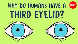 Why do humans have a third eyelid? - Dorsa Amir