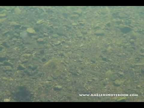 Gauley River Forage Fish - Underwater video of baitfish in West Virginia