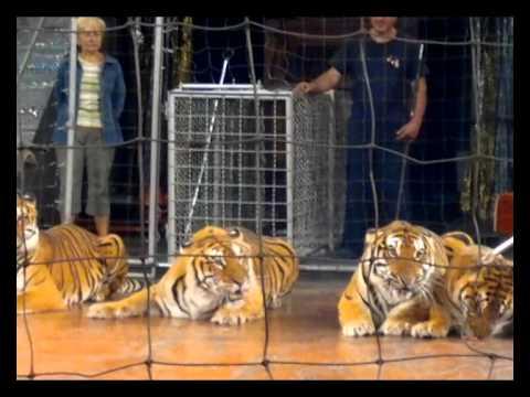 Тигры едва не съели дрессировщика
