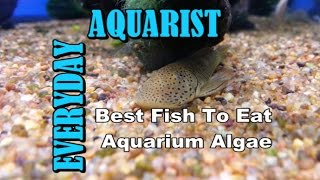 Best Fish to Clean / Eat Algae in Aquarium