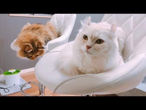 猫がカウンターチェアで回りはじめた...!!!!!