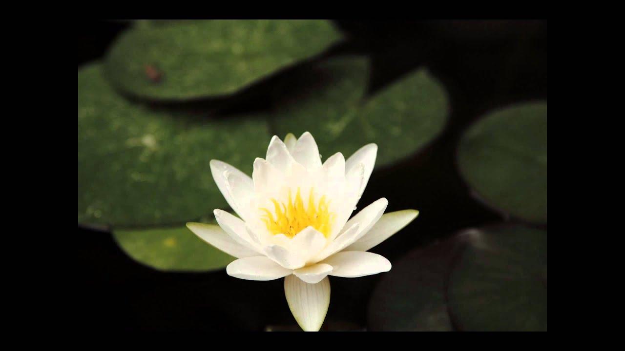 Flor De Loto Abriendose