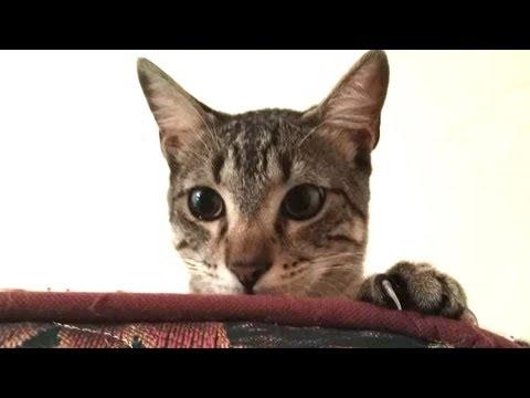 Cute Cat Egyptian Mau Tana