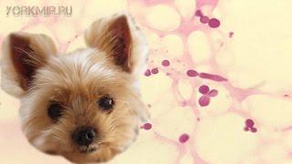 Фолликулит у собак | Причины | Симптомы | Лечение.(Фолликулит у собак характеризуется гнойничковым поражением кожного покрова в области волос песика. Причин..., 2016-03-07T12:56:44.000Z)