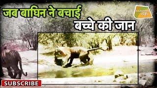 जब बाघिन ने बचाई बच्चे की जान । Ranthambore National Park Sawai Madhopur