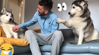 Download Jealous Husky Gets Angry And Just Wants ALL Of The Attention!! [READ DESCRIPTION] Mp3 and Videos