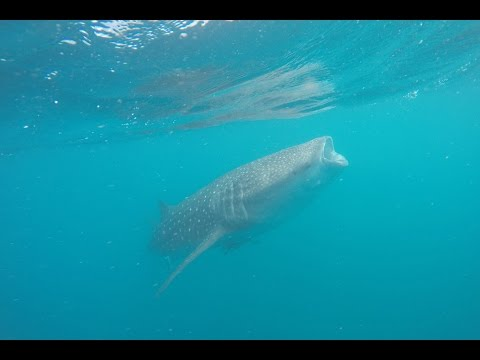 Steppes Travel | Swimming with whale sharks in Djibouti