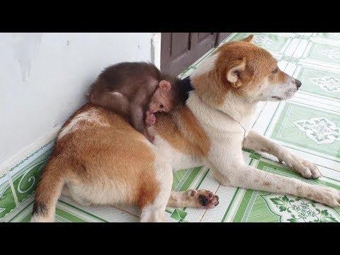 Baby Monkey   Monkey And Funny Dog   Friendship - Funny Animals