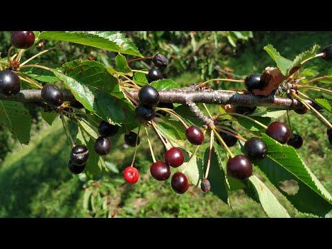 European Wild Cherry (Prunus Avium)