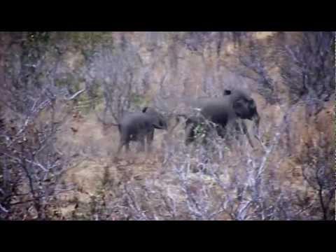 Massive Trophy Cape Buffalo Hunt Zimbabwe