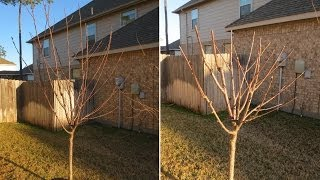 How to Prune Fruit Trees: Avocado, Apple, Nectarine, Plum, Pomegranate, Pear, Cherry, Fig