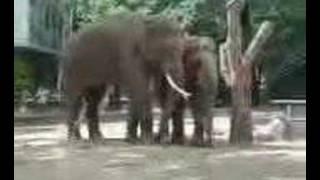 elephants having sex at berlin zoo garden 2/2