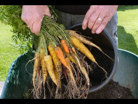 Carrot reveal, Rainbow mix, Organic Carrots grown in a small bucket or pot.