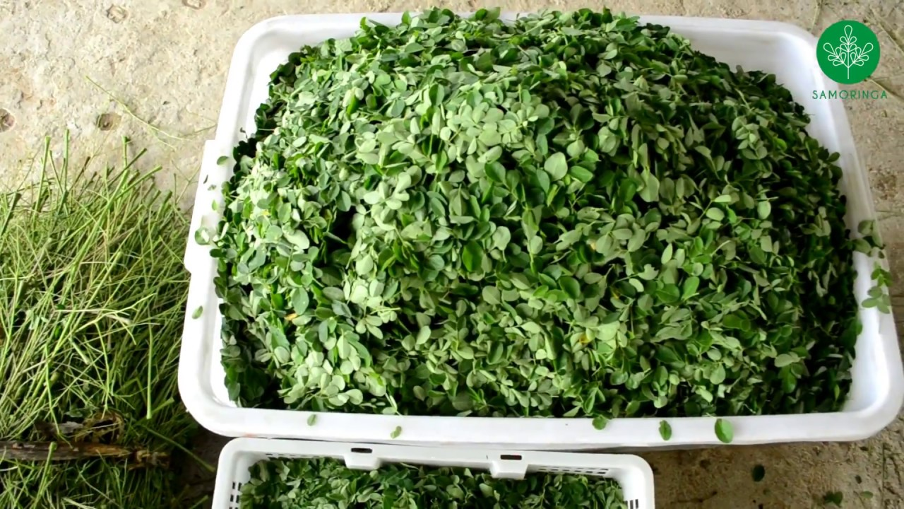 Proses Pengolahan Daun Kelor Moringa Oleifera Youtube