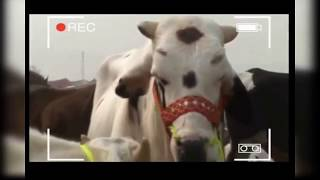 Eid Bakra Special |Funny Video 》Watch  This Video And Enjoy》