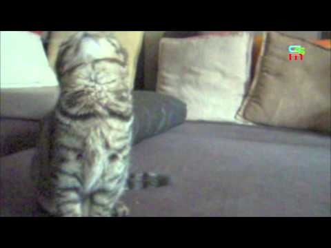 CUTE! - CHECK THIS OUT! - Li Hua Mau baby kitten (BOSSY) dancing!