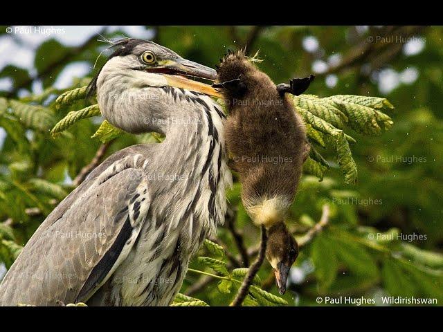 Heron eat enormous birds when the feeding is easy