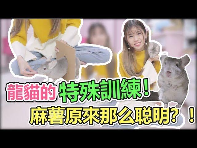 【寵物】訓練龍貓特殊技能!萌寵麻薯能順利通過嗎?!How I train my chinchilla