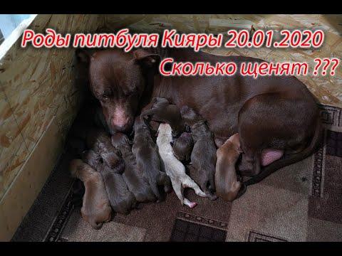 18+ Роды питбуля Кияры 20.01.2020г. щенки питбуля