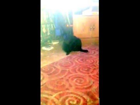 Slim Crumbee, My Manx cat, my best friend. RIP