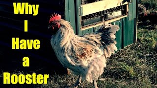 Why I Have a Rooster